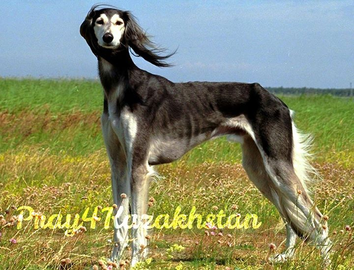 Taz: an ancient Kazakh hunting dog. There are legends and symbols for this speci…